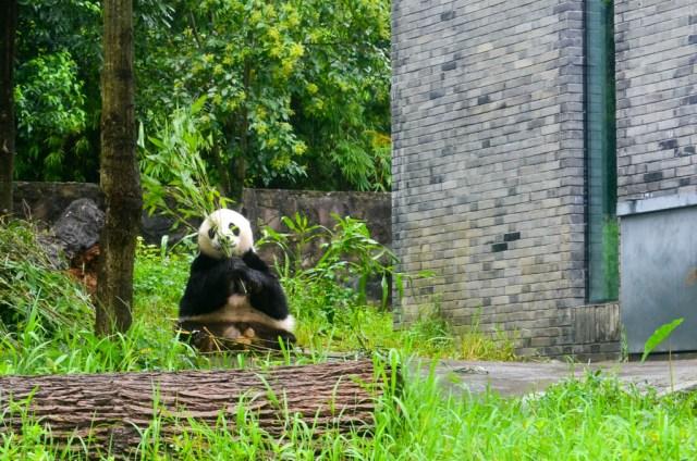 osos panda en China