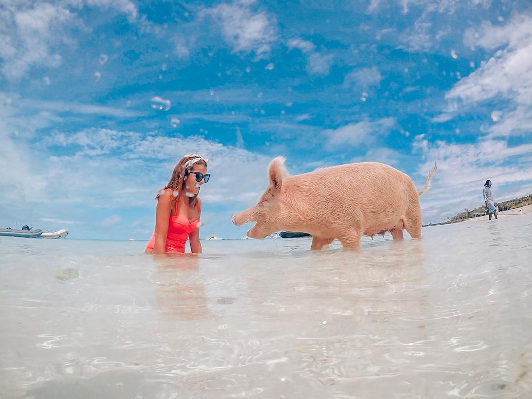 Cómo Llegar a Pig Beach: La Playa con Cerdos Nadadores en