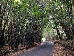 bosque bambu Bali