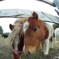 Familia de ponis en Can Casellas