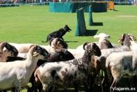 Es duro batallar con un grupo de ovejas díscolas