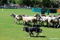 Evoluciones de un perro en el Concurso de Gossos d'Atura de Prades
