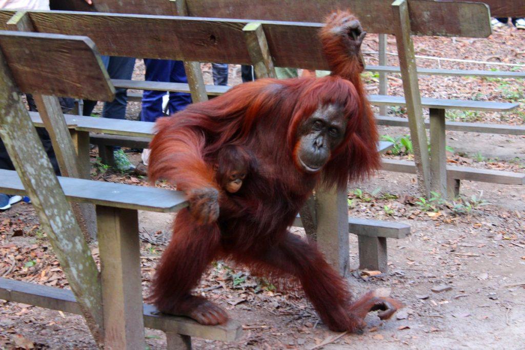 Orangután con su cría