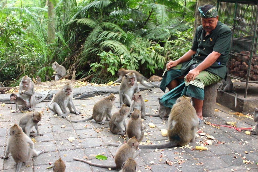 Guardia alimentando monos en el Monkey Forest de Ubud