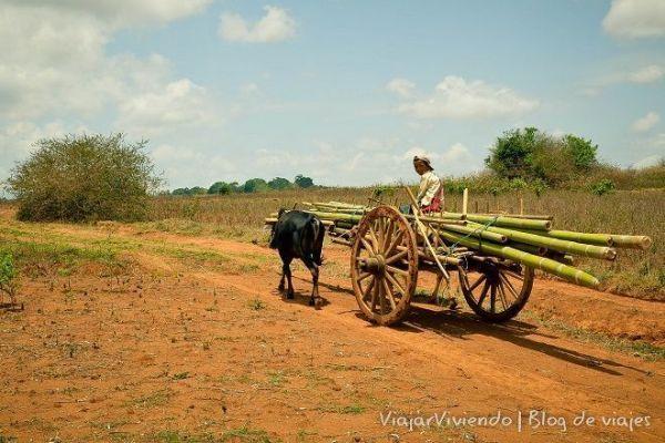 bufalos y caña en Birmania