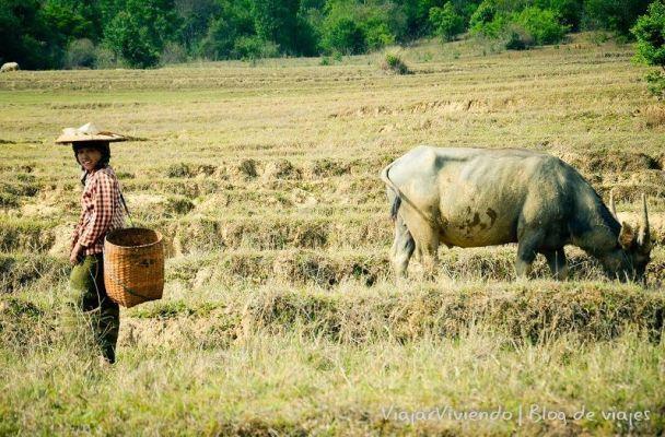 bufalo en el trekking al lago inle