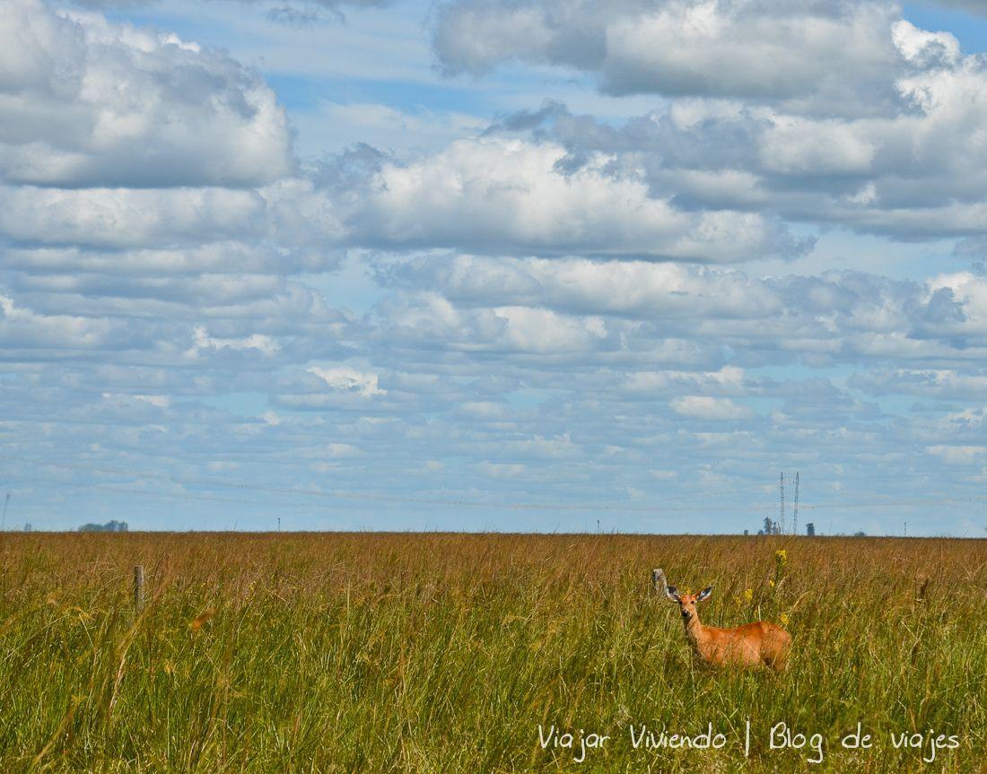 camino ibera ciervo - viajar a los Esteros del Iberá