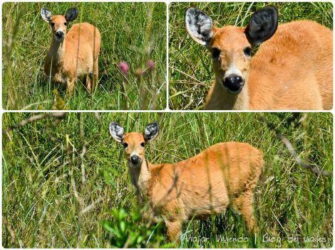 ciervo de los pantanos ibera