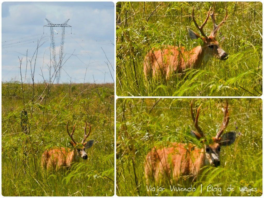 ciervo macho con cornamenta en Iberá