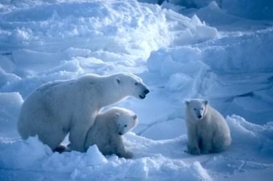 Una familia de osos polares en Wrangel