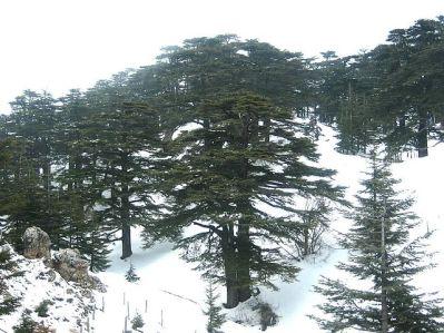 Bosque de los Cedros de Dios nevado