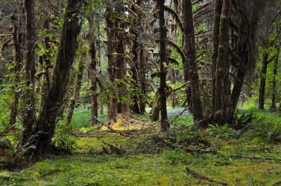 Bosque de Hoh, en el Parque Nacional Olímpico