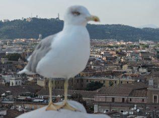 Dulce gaviota romana (vista cercana)