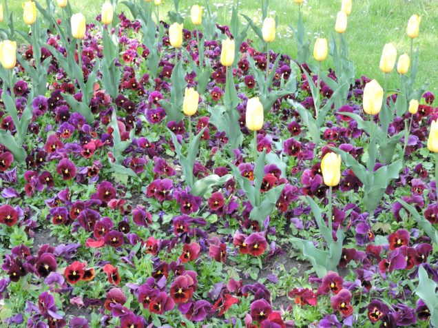 Mas tulipanes