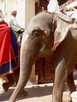 Elefantes indios