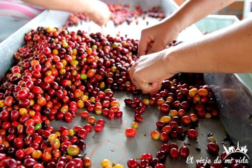 Café colombiano en el Eje cafetero