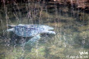 La tortuga verde del Pacífico en Galápagos