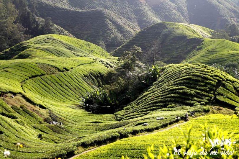 Plantaciones de té de Cameron Highlands