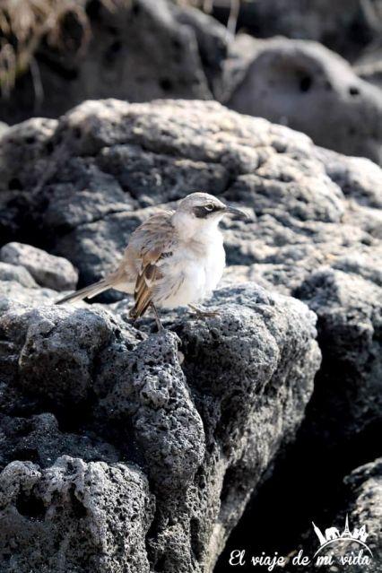Cucuve de Galápagos