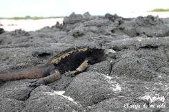 Una iguana marina de Galápagos