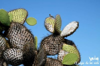 Lagartija sobre cáctus en Galápagos