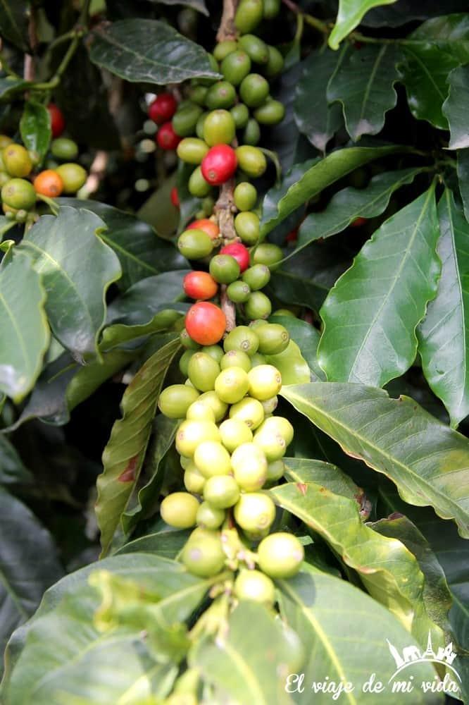 Granos de café en Colombia