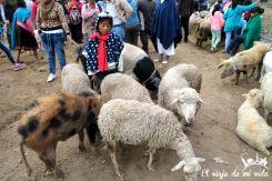 Ganado en el mercado indígena de Otavalo, Ecuador