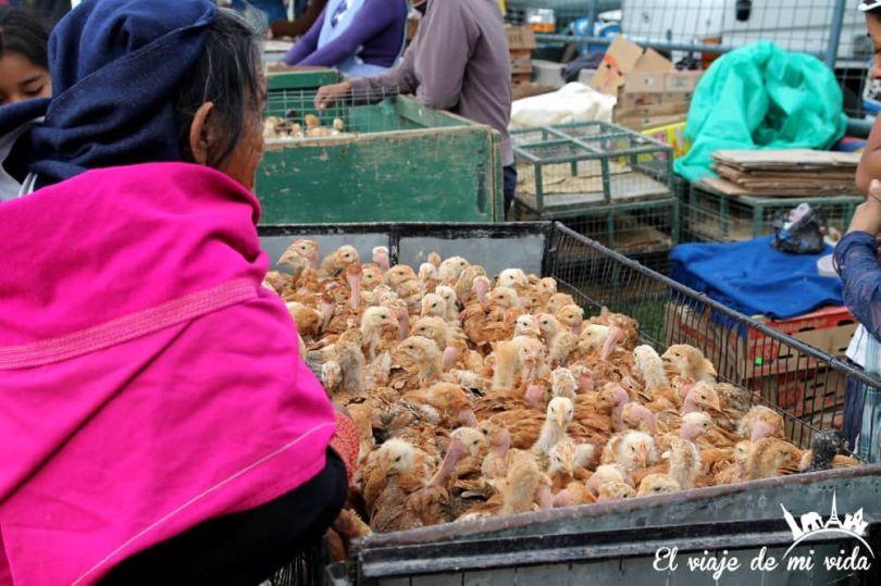 Pollitos en el mercado indígena de Otavalo, Ecuador