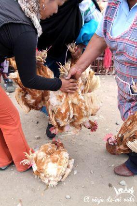 Gallinas en el mercado indígena de Otávalo, Ecuador