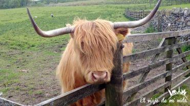 Vacas lanudas escocesas