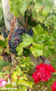 El viñedo de Marqués de Riscal