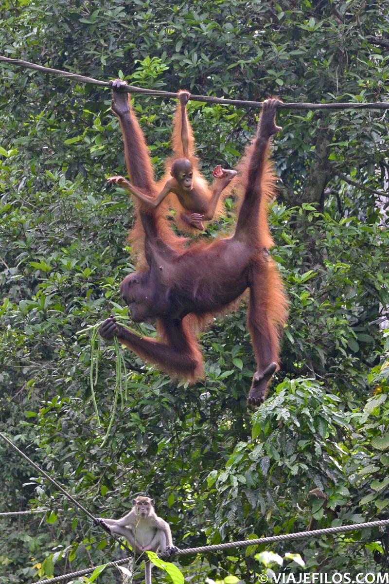 En un itinerario de viaje por Malasia y el Borneo malayo, la visita de los orangutanes de Sepilok puede resultar divertida, sobre todo viendo la pelea diaria que tienen con los macacos de la zona