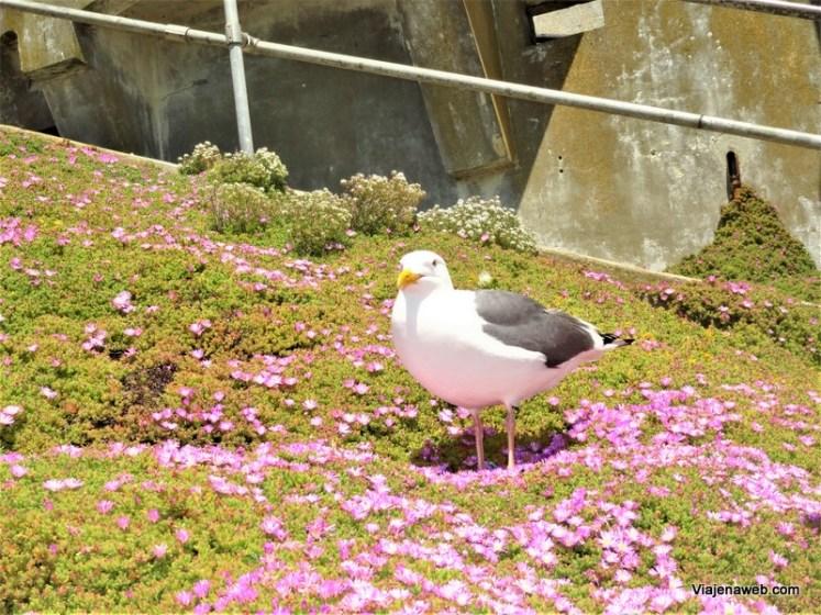 Pássaro Albatróz em Alcatraz