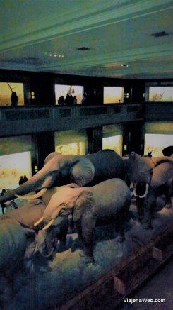 elefantes no Museu de Nova York de História natural