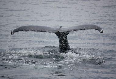 Ballenas en la Peninsula de Samana
