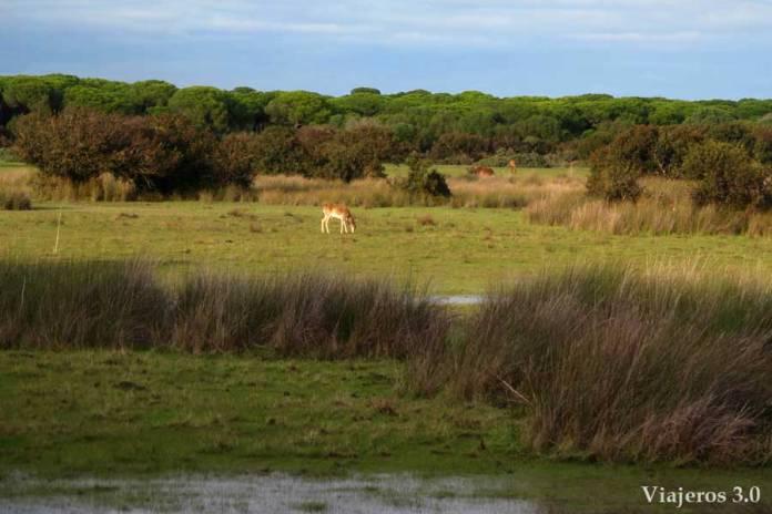 gamos pastando en el Parque Nacional de Doñana