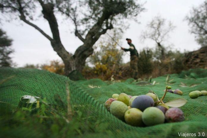 varear olivos, enoturismo