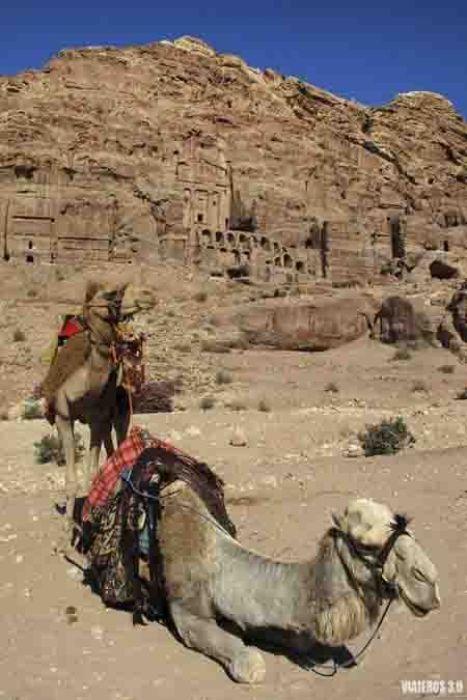 camellos en Petra, ruta por Jordania en una semana