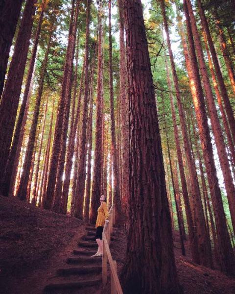 Bosque de Secuoyas en Cantabria