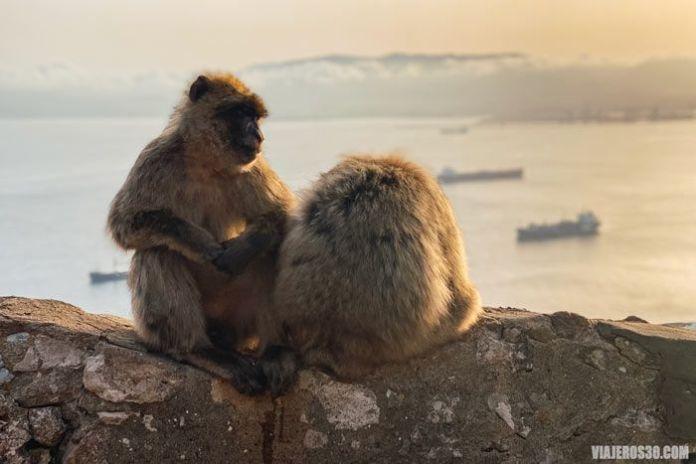 Monos en Gibraltar al atardecer.