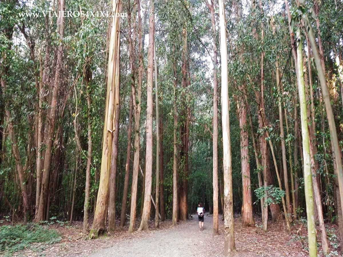 Mujer caminando por un bosque de eucaliptos en Galicia