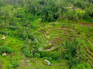 que ver en bali - campos de arroz