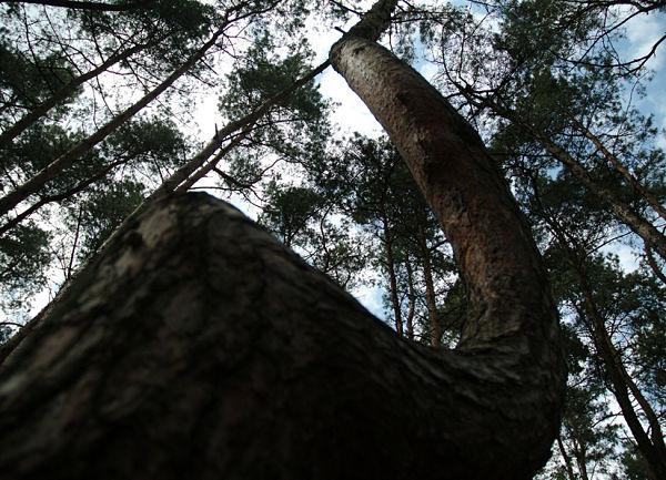 El misterioso bosque de árboles torcidos de Polonia