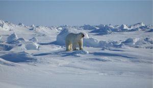 Libro Confines, oso polar