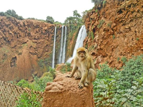 Mono subido muro arcilla cascadas Ouzoud Marruecos