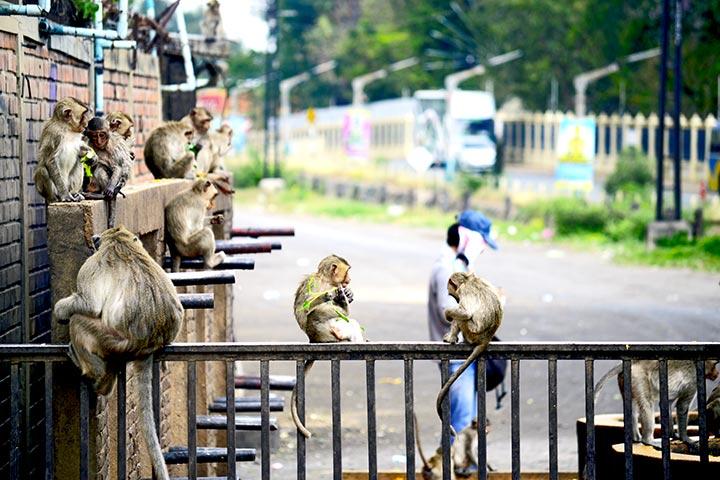 Monos concentración barandilla Lopburi Tailandia