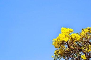 Flor jazmín amarillo planta Tailandia
