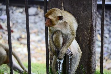 Mono ducha agua manguera templo monos Lopburi Tailandia