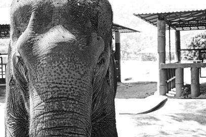 Mirada cercana emotiva elefante blanco y negro