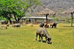 Bisonte cuernos pastando vegetación Elephant Nature Park Chiang Mai